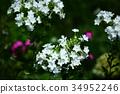 福禄考白花 34952246