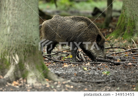 Wild boars in the forest 34953455