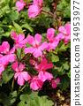 핑크 제라늄 34953977