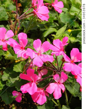 핑크 제라늄 34953978