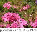 핑크 제라늄 34953979