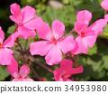 핑크 제라늄 34953980