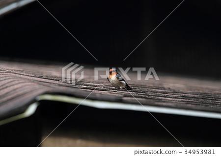 太平洋燕子(琉球Swallume) 34953981