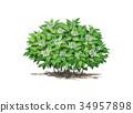 수국, 산수국, 꽃 34957898