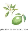 酸橙 萊姆 黃檸檬 34961346