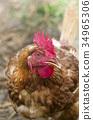 chicken, chickens, bird 34965306