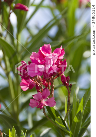 nerium oleander bloom blossom stock photo 34965314 pixta