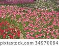 이바라키 현 국영 히타치 해변 공원의 튤립 34970094