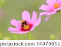 코스모스, 꽃, 플라워 34970651