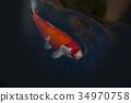 锦鲤 鲤鱼 池塘 34970758