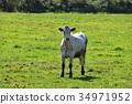 奶牛 牲口 牛 34971952