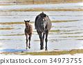 horse, graze, grazing 34973755