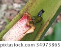 Purple-naped Sunbird (N 나프 요우 쵸) 34973865