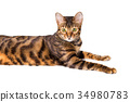Portrait of cat breed Toyger 34980783