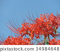 cluster amaryllis, cluster amarylli, red spider lily 34984648