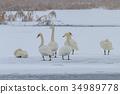 Whooper Swan (Cygnus cygnus) in winter 34989778