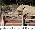 非洲大象 34997763
