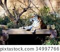 虎 34997766