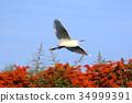 小白鹭 白鹭 野生鸟类 34999391