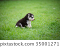 Cute siberian husky puppy sitting alone on grass 35001271