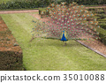 peacock, peafowl, bird 35010088