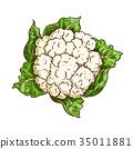 花椰菜 甘藍 包菜 35011881