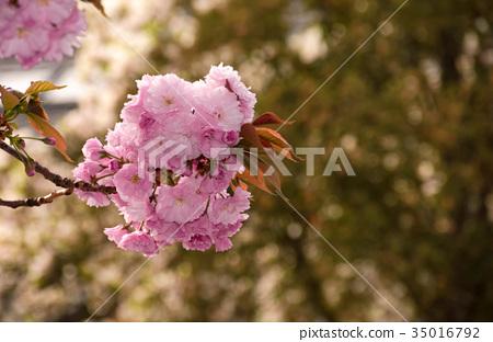 Sakura flower blossom in garden at springtime 35016792