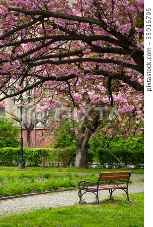 Sakura tree blossom in garden at springtime 35016795