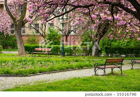 Sakura tree blossom in garden at springtime 35016796