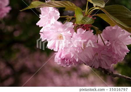 Japanese cherry flower blossom in spring 35016797