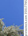 绣线菊类 玫瑰 玫瑰花 35017765