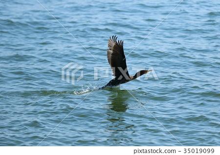 cormorant, cormorants, wild bird 35019099