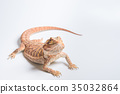 大鬍子龍 動物 爬行動物 35032864