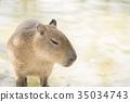 Capybara ในริมน้ำ 35034743