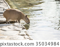 Capybara รับน้ำ 35034984