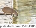 Capybara รับน้ำ 35034985