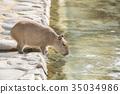 Capybara รับน้ำ 35034986