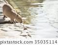 Capybara ในริมน้ำ 35035114