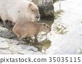 Capybara ผู้ปกครองและเด็กน่ารัก 35035115
