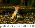 ezo red fox, fox, animal 35038338