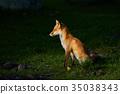 ezo red fox, fox, animal 35038343