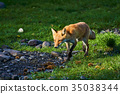 ezo red fox, fox, animal 35038344