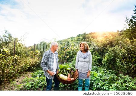 Senior couple gardening in the backyard garden. 35038660