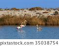 pink flamingos walking through the water 35038754
