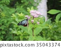 chestnut tiger butterfly, butterfly, butterflies 35043374