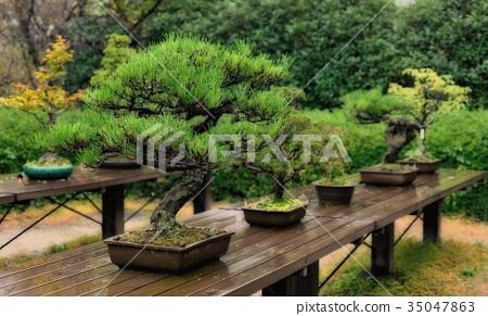 盆栽 树 树木 35047863