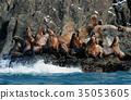 庫頁冷杉 北海獅 野生生物 35053605