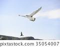 black-tailed gull, cruising, blue water 35054007
