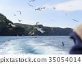 black-tailed gull, cruising, blue water 35054014