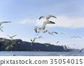 black-tailed gull, cruising, blue water 35054015